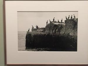 Cormorans sur la côte nord, Tory Island, Ireland, 1995